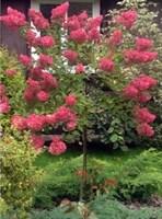 Гортензия метельчатая Эрли Сенсейшен-розовый