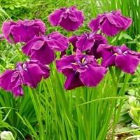 Ирис мечевидный Гуд Омен-фиолетовый