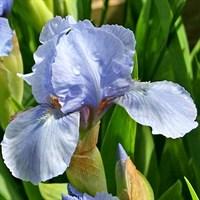 Ирис карликовый Трули-голубой