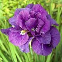 Ирис сибирский Дабл Стандарт-фиолетовый