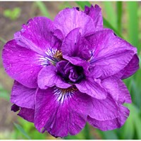 Ирис сибирский Тамбл Баг-фиолетовый
