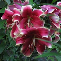 Лилия Африкан Леди-двухцветный