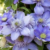 Клематис гибридный Блю Лайт-голубой