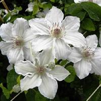 Клематис гибридный Дестени-белый