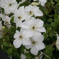 Клематис гибридный Форевер Френдс-белый