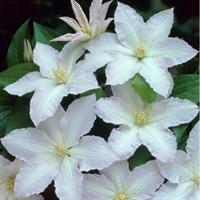 Клематис гибридный Глэдис Пикард-двухцветный
