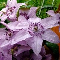 Клематис гибридный Хагли Хибрид -розовый