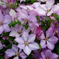 Клематис гибридный Маргарет Хант-розовый