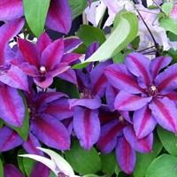 Клематис гибридный Миссис Томпсон-двухцветный