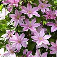 Клематис гибридный Пинк Фэнтази -розовый