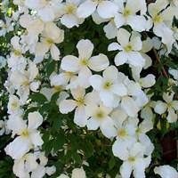 Клематис горный Грандифлора-белый