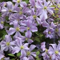 Клематис фиолетовый Принц Чарльз -сиреневый