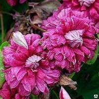 Клематис фиолетовый Пурпуреа Плена Элеганс-фиолетовый