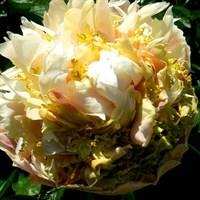 Пион  Квитцин (Paeonia Quitzin)