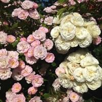 Роза Букет Парфе на штамбе-розовый