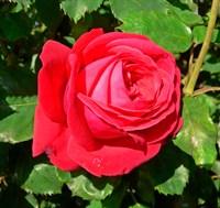 Роза Дам де Кер  на штамбе 100 см  (Rosa Dame de Coeur)
