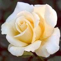 Роза Элина на штамбе-желтый