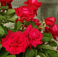 Роза Ена Харкнесс на штамбе-красный