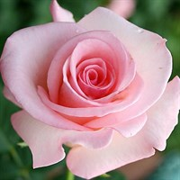 Роза Фламинго на штамбе-розовый