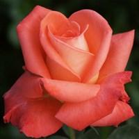 Роза Фольклор на штамбе-оранжевый