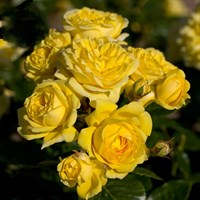 Роза Фрезия на штамбе -желтый