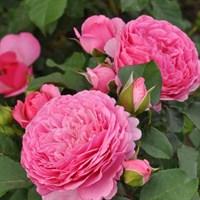 Роза Катарина Фрайла -розовый