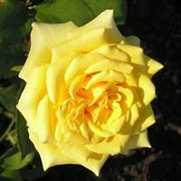 Роза Ландора на штамбе-желтый