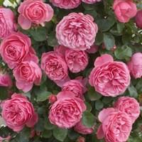 Роза Леонардо Да Винчи на штамбе-розовый