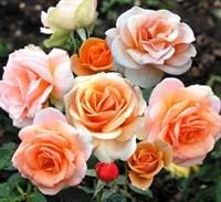 Роза Малага на штамбе-оранжевый