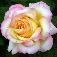 Роза Пис на штамбе -двухцветный
