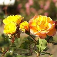 Роза Петито на штамбе-желтый