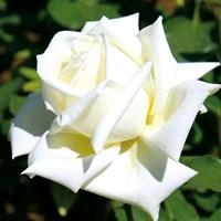 Роза Поларштерн на штамбе-белый