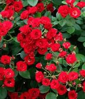 Роза Скарлет Мейян на штамбе-красный