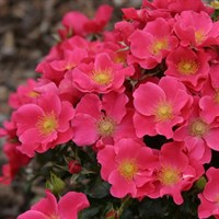 Роза Штадт Ром на штамбе -розовый