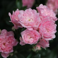 Роза Фейри на штамбе-розовый