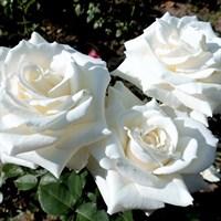 Роза Тинеке на штамбе-белый