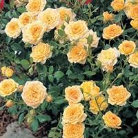 Роза Йеллоу Фейри на штамбе-желтый