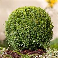 Сашмит вечнозеленый-зеленый