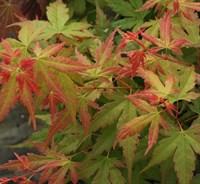 Клен веерный Аканэ-оранжевый