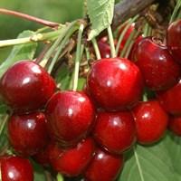 Черешня Аделина-красный