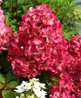 Гортензия метельчатая Диамант Руж-розовый