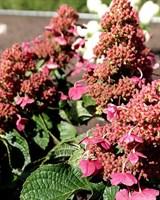 Гортензия метельчатая Инфинити-розовый