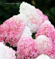 Гортензия метельчатая Пинк энд Роуз-розовый
