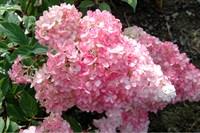 Гортензия метельчатая Строберри Блоссом-розовый