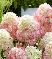 Гортензия метельчатая Саммер Лав-розовый