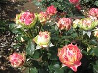 Роза флорибунда Блитц Раффлз-красный