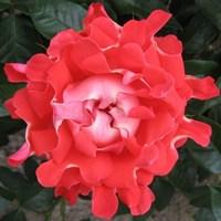 Роза флорибунда Кэнди Раффлз-красный