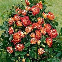 Роза флорибунда Чоколат Раффлз-оранжевый