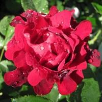 Роза флорибунда Индианс Раффлз-темно-бордовый