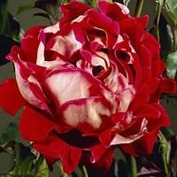 Роза флорибунда Мистик Раффлз-красный